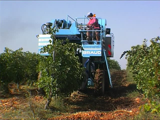 Grape harvesting 5