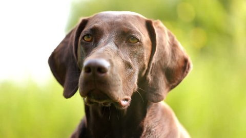 dog head close-up. Hunting dog brown color, with wet hair.