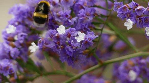 Limonium sventenii, Limonium is a genus of 120 flower species. Members are also known as sea-lavender, statice, or marsh-rosemary.