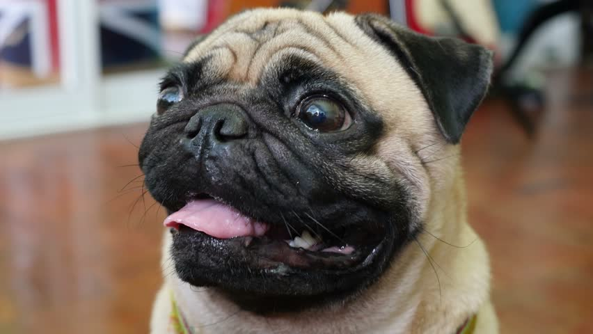 Close-up face of cute pug dog puppy.