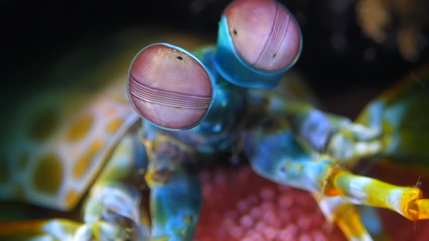 Peacock mantis shrimp eyes move very fast and fun