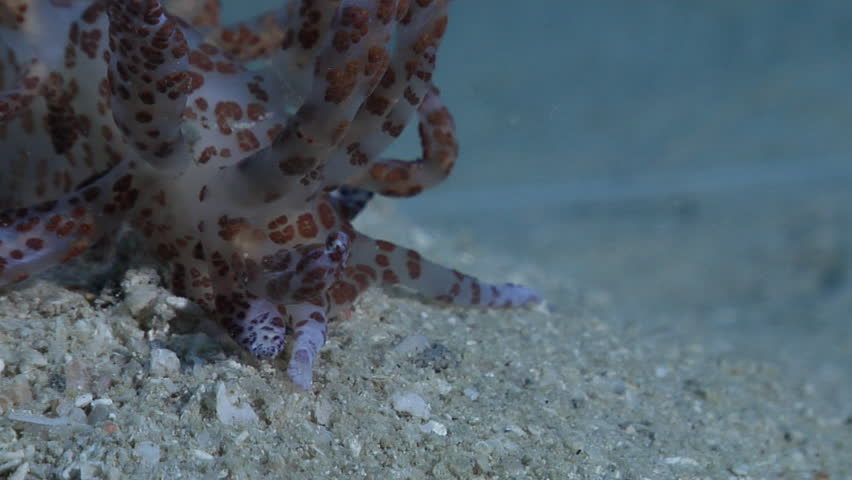 Solar powered slug sniffing on silty inshore reef, Phyllodesmium longicirrum HD, UP28753