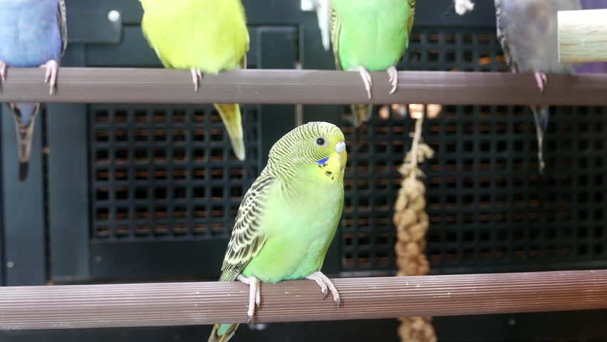 Moion Of Fancy Parakeet In Cage Inside Petsmart Royalty Free Video