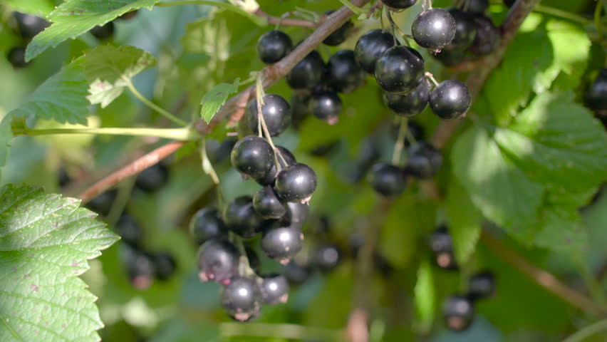The Purple Berries Hanging On Stock Footage Video (100% Royalty-free)  19308550 | Shutterstock