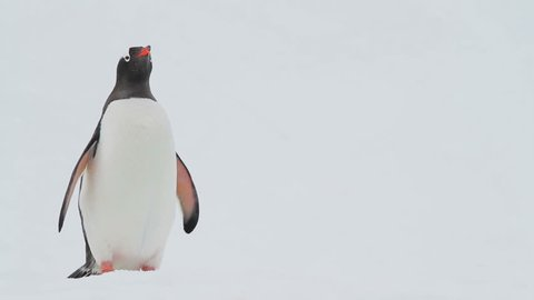 Gentoo Penguins shot in Antarctica.