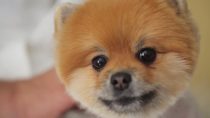 Amazing Pomeranian Brown Adorable Dog - 12  2018_292085  .resize(height:160)