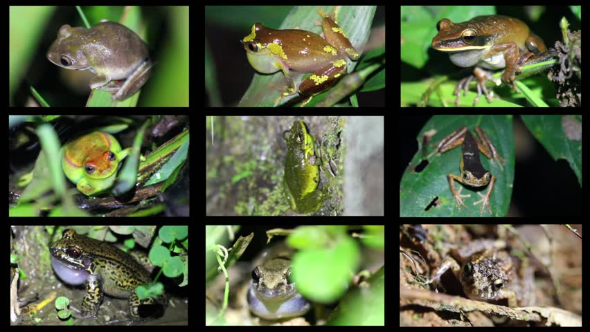 amazon rainforest plants collage. a cacophony of tropical frogs calling for mates in the peruvian amazon 9 species collage with complete audio recordings stock footage video 1939720 rainforest plants