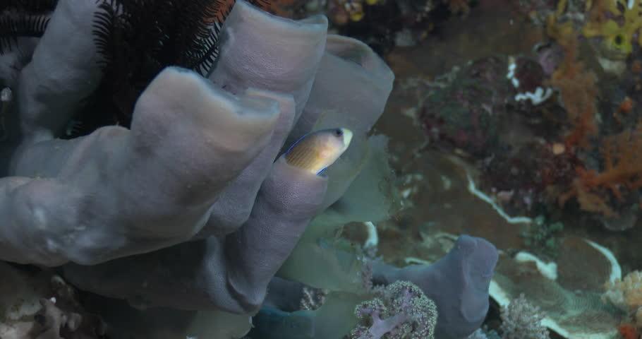 Splendid dottyback swimming on shallow coral reef, Manonichthys splendens 4K UltraHD, UP39206