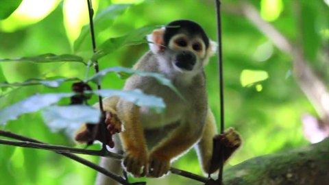 A cute and inquisitive WILD Squirrel Monkey (Saimiri boliviensis) in the Peruvian Amazon