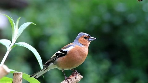 Bird Chaffinch calling his young, Fringilla coelebs, buchfink