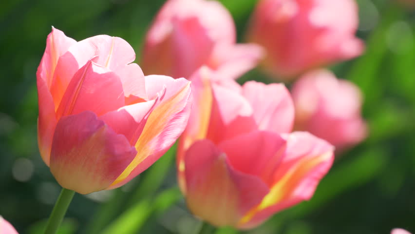 Pink red yellow spring tulips flower background green pink tulip pink red yellow spring tulips flower background green pink tulip flower spring day tulip background spring landscape nature yellow pink tulip flower mightylinksfo Gallery