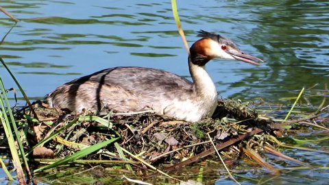 The great crested grebe (Podiceps cristatus) sitting on eggs in the nest on the lake