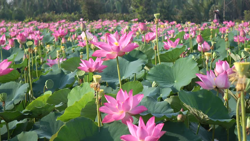 Pink Lotus On The Garden Stock Footage Video 100 Royalty Free