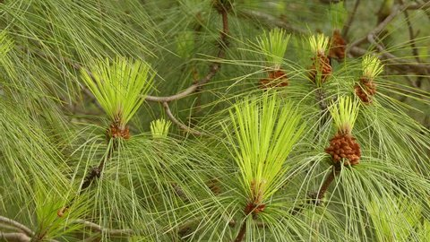 Pinus canariensis, the Canary Island pine, is a species of gymnosperm in the coniferous family Pinaceae. It is a large, evergreen tree native and endemic to the outer Canary Islands.