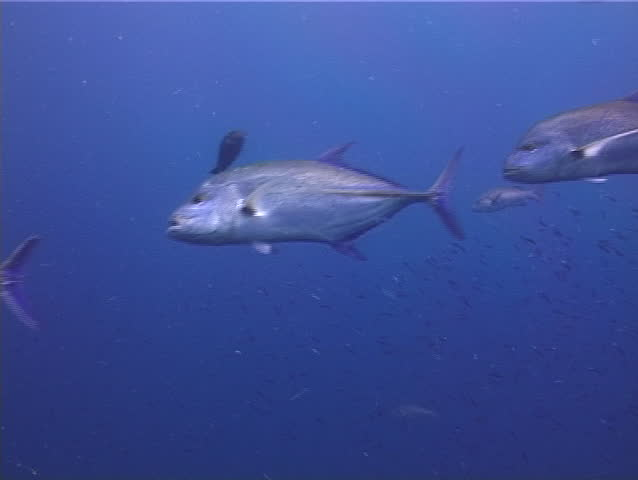 Bluefin trevally swimming and schooling, Caranx melampygus   Shutterstock HD Video #19535530