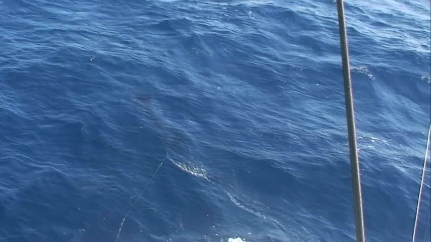 Striped Marlin hooked up and jumping at the back of the boat There are three