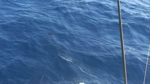 Striped Marlin hooked up and jumping at the back of the boat There are three marlin species caught in New Zealand waters striped, blue and black marlin