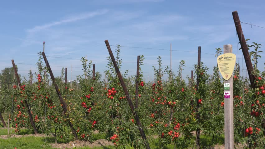 BETUWE, THE NETHERLANDS - SEPTEMBER 2016: fruit orchard on dwarfing rootstocks carrying ripe elstar apples. In front a signpost of the Klompenpad hiking trail through the Dutch countryside