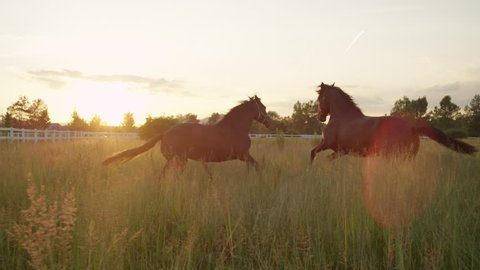 SLOW MOTION, CLOSE UP: Two beautiful dark brown horses standing in tall grass and pasturing at amazing golden light sunset. Adorable powerful horses running on vast meadow field at sunny morning