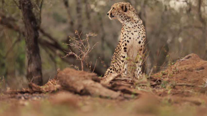 Header of Acacia Xanthophloea