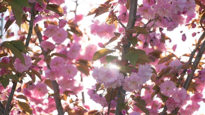 Spring flower cherry sakura tree branch blossom background. Sun back lit pink white cherry tree branch sakura flower blossom background. Cherry sakura tree flower blossom spring. Cherry tree blossom