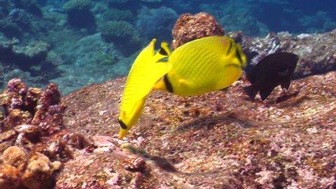 Latticed butterflyfish feeding, Chaetodon rafflesii HD, UP15783