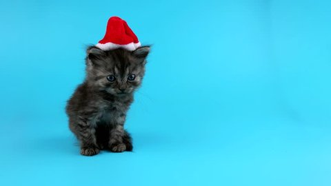 Cute little Christmas cat in Santa hat looking in camera and meows, on blue chroma key