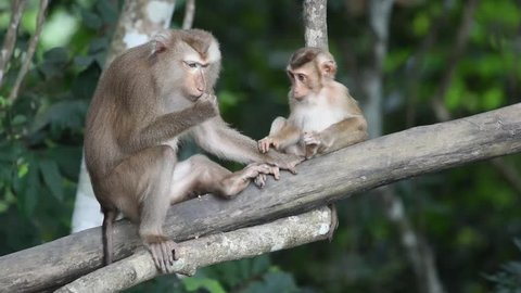 Mother and child of Southern pig-tailed macaque (Macaca nemestrina), medium-sized Old World monkey, in natural habitat of Khao Yai national park, Thailand. Relaxing time and happy time of the family.