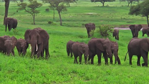herd of elephants in Tarangire National Park Tanzania on green grass savanna, Tanzania, Africa.