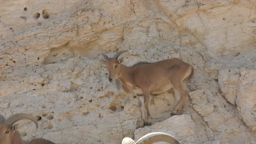 The Barbary sheep, Ammotragus lervia, is a species of caprid (goat-antelope) native to rocky mountains in North Africa. Found in deserts in herds.