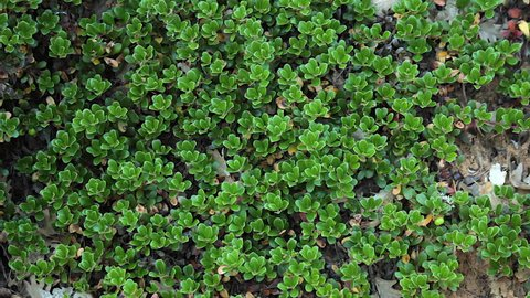 Plant with medicinal properties. Bearberry leaves, bearberry
