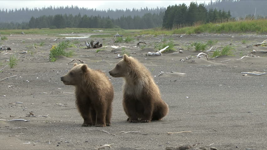Brown bear cubs stand in reaction to their mothers growl by the Cook Inlet at Lake Clark National Park, Alaska.