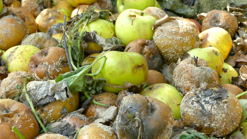 Panning around a pile of rotting apples after falling from a tree in an orchard