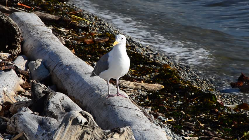 seagull at the log close to water at Dundarave Park in West Vancouver, Canada.