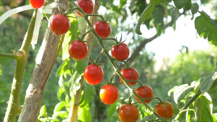 Mature cherry tomato can