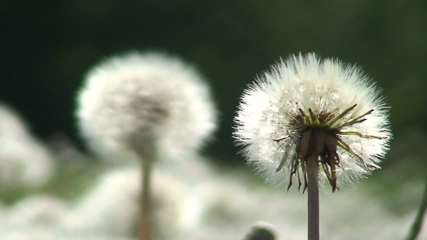 Two dandelion (Sow-thistle) plants 1