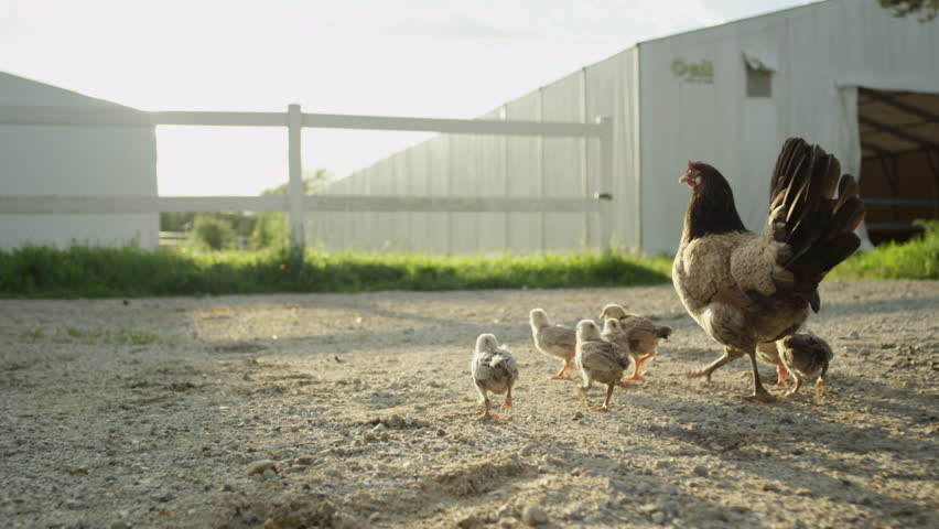 SLOW MOTION CLOSE UP DOF: Caring chicken protecting her small fluffy yellow and brown baby chickens walking freely on backyard behind the barn on animal ranch. Cute happy livestock bird family on farm | Shutterstock HD Video #19965661