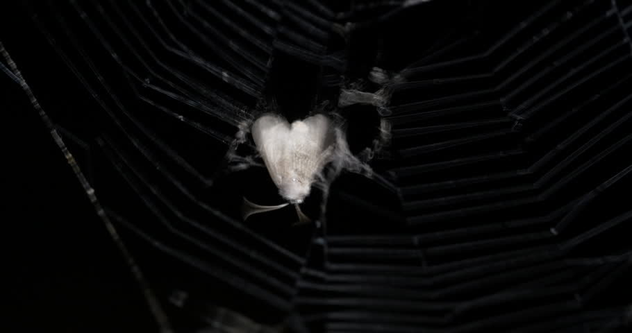 Grey Moth Stuck Spider Web Trying to Get Free at Night 10bit, 4K