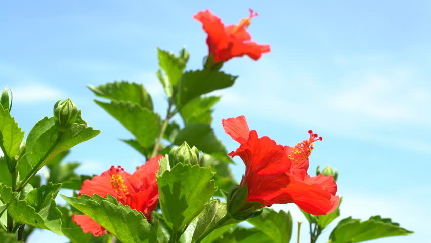 Hibiscus | Shutterstock HD Video #19977160