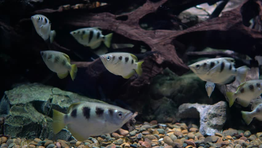 Archer Fish Tank   Blue Gourami Tropical Fish Is Swimming In The Fish Tank Stock