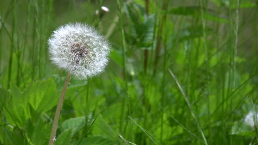 Dandelion blown in the wind