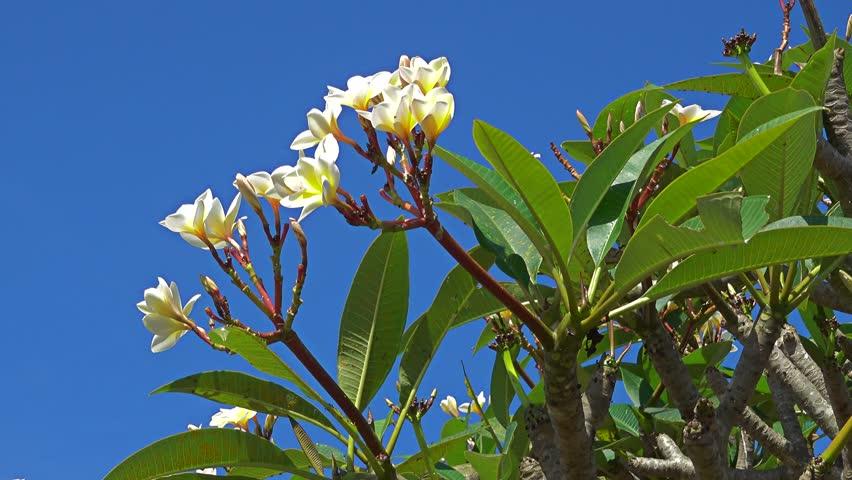 Header of frangipani