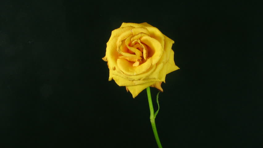 Timelapse Of Yellow Rose Flower Blooming On Black ...
