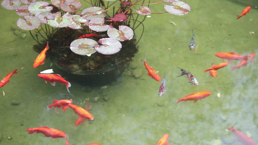 Golden fish in the garden pond stock footage video 2968657 for Ornamental pond fish golden