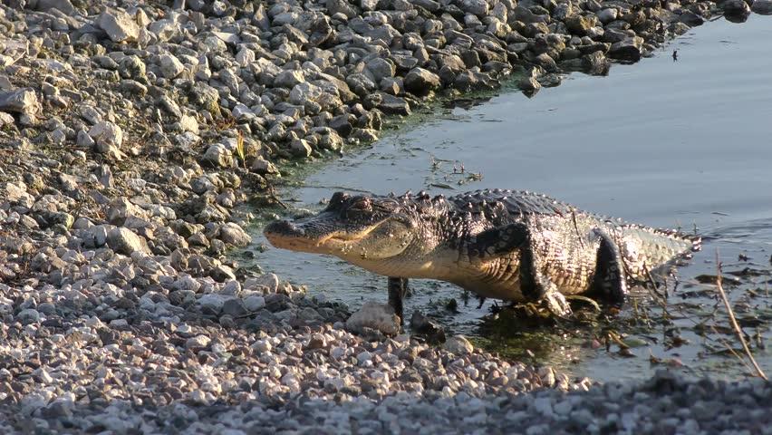 American Alligator walking
