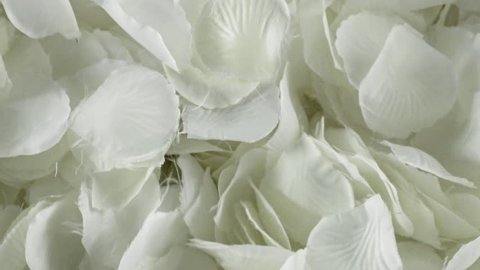 White rose petals falling, slow motion clip