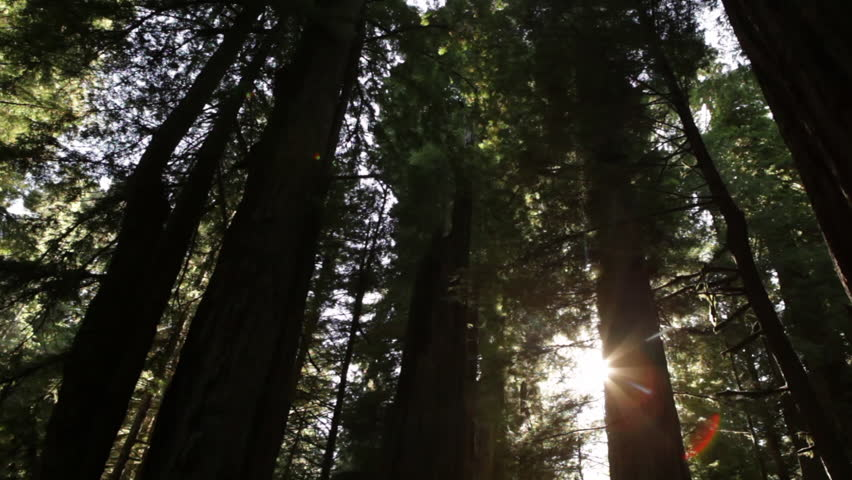 Tall redwood trees against bright sky