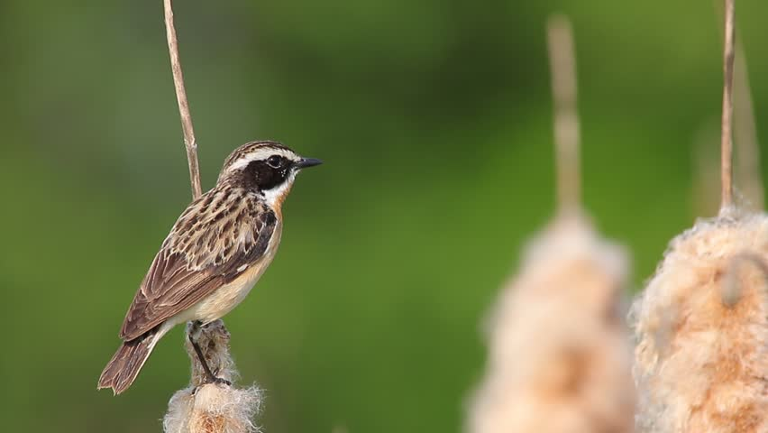 Whinchat. Singing male. | Shutterstock HD Video #20333446
