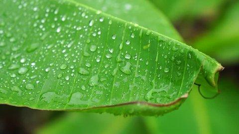 rain falling on a banana tree leaf.