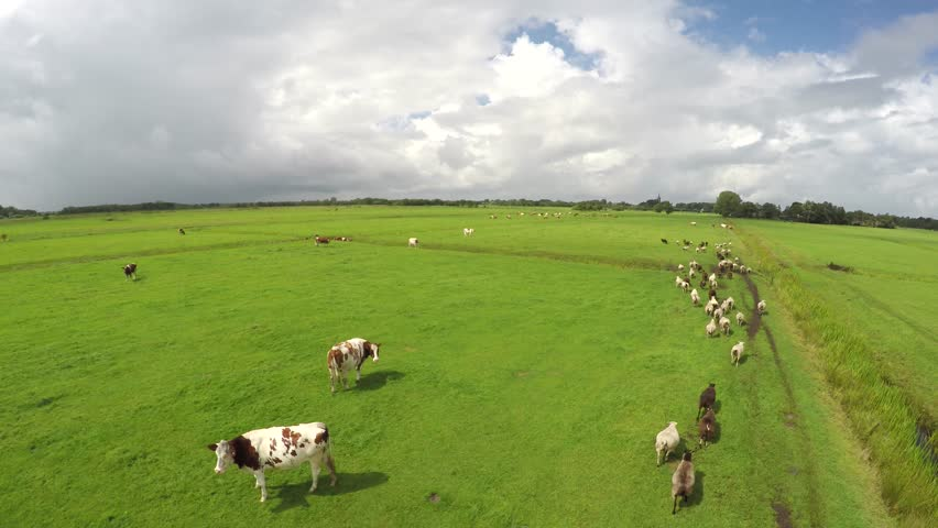 Sheepherding aerial by drone shepherd short footage of UAV moving slowly behind sheep herd sheep walking towards wanted direction over green farm land green field nice weather overcast clouds 4k